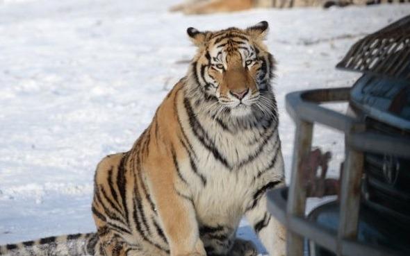 肇事的老虎幸而沒有遭到聲討追究。截圖自BBC中文網