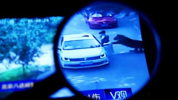 從監視帶中可看到,女乘客在猛獸區私自下車,才遭到老虎攻擊。 截圖自BBC中文網