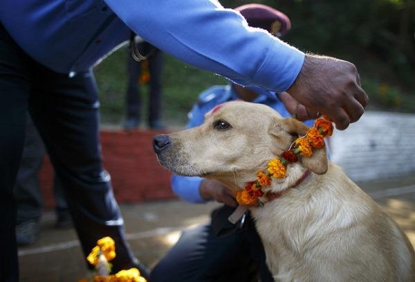 記者 呂幼綸/報導 說到「狗節」,你會想到9月9日嗎?鄰近印度,受印度文化影響甚深的尼泊爾,倒真有個歷史悠久的狗節,時間就在每年10月下旬。 狗節的正式名稱是燈節(Festival of Lights),又稱提哈節(Tihar) ,也稱地瓦里(Diwali),每年的10月下旬舉行,以5天的時間和儀式,來表達對動物的尊崇,專屬狗的慶典在第2天,今年恰好是10月22日,這一天人們會為狗獻上花環和帝卡(朱砂粉)編成的花環,讓狗狗身上佈滿色彩,頗富趣味。 在今年剛過去的節日中,位於加德滿都的尼泊爾中央警犬培訓學校