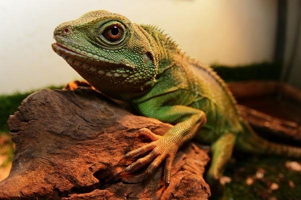 很多人分不清楚綠水龍和綠鬣蜥,這兒肯定的告訴你,如果遭到棄養,綠水龍對台灣野外環境的破壞力,更甚於綠鬛蜥,對台灣本土蜥蜴的威脅性更強!所以要養牠,就不可棄養。 特約記者 林猷威/報導 綠水龍(Physignathuscocincinus)因價格親民,且相較於其他蜥蜴較為溫馴,是人氣相當高的爬蟲寵物。原產於中國南方以及東南亞等地區的熱帶雨林中,喜歡高濕高溫以及有水的環境,對環境的適應性相當強。食性為雜食性,以小型昆蟲、哺乳類以及葉菜類為食。 綠水龍的成體全長在60~90公分左右,相較於70~150公分的綠鬣