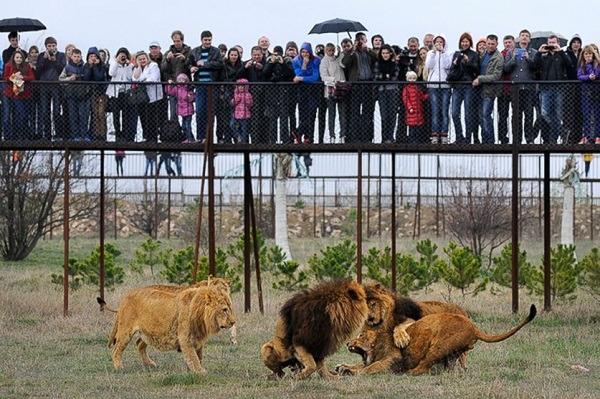 俄罗斯的克里米亚野生动物园里,养有50头非洲狮,包括珍罕的白狮.