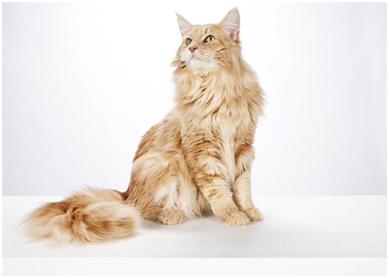 美国人最爱的10大猫种 | 台湾动物新闻网