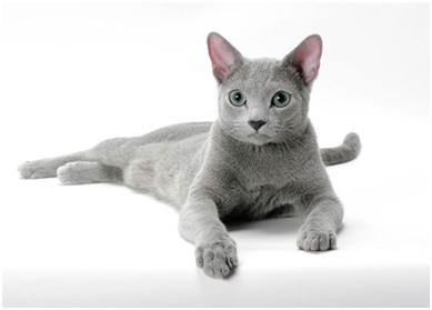 聪明的马恩岛猫有温柔