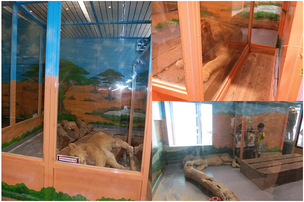 年輕公獅長期被關在室內,毫無社交及運動可言。而為了讓遊客近距離觀看牠,內側甚至設了1條約50公分寬的玻璃走廊。 取自網路