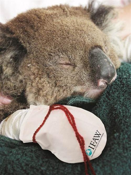 澳洲森林大火 无尾熊烧伤引关切 | 台湾动物新闻网