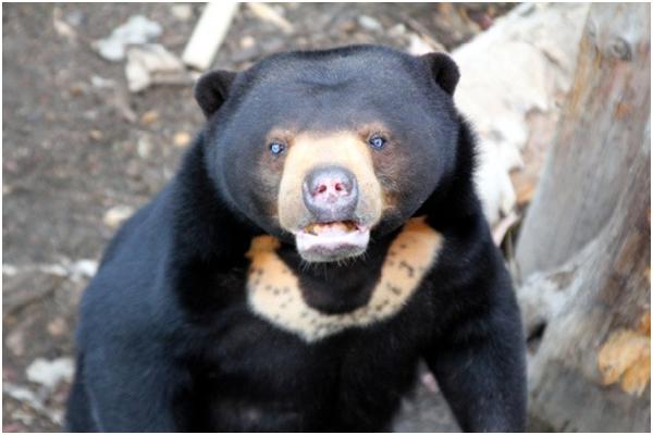 马来熊分布於东南亚的热带雨林,是体形最小的熊科动物,成熊体长100