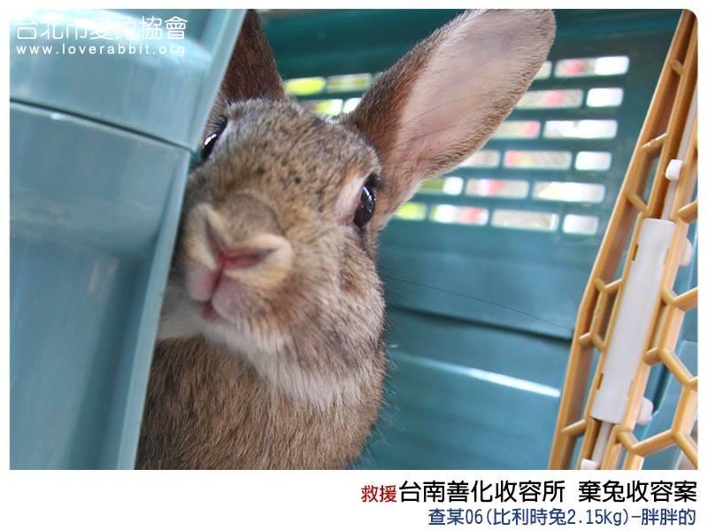 善化的15隻兔兔約3週後會再進行送養會,屆時可確認母兔有沒有懷孕,想養兔子的民眾也可以到愛兔之家逛逛喔! 取自愛兔協會臉書