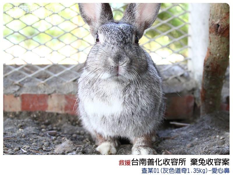 愛兔協會11/5日到善化收容所將15隻棄兔全數帶回安置。 取自愛兔協會