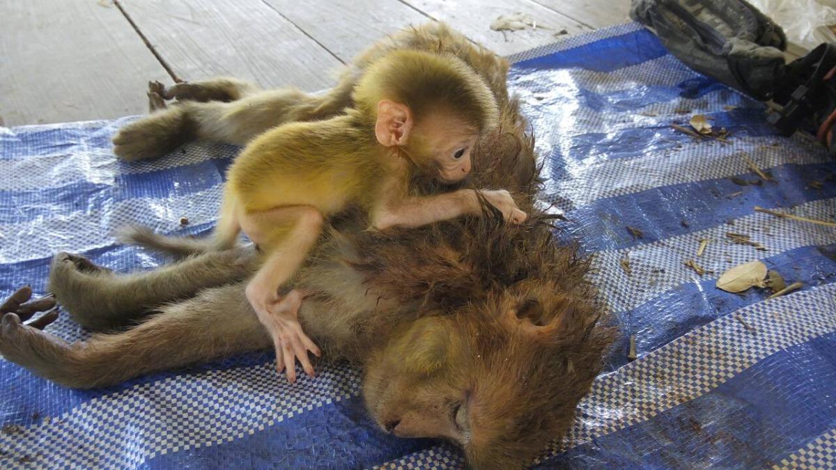 記者 何宜/綜合報導 大家都知道母愛相當偉大,但有時候小孩對媽媽的依賴更是讓人看了動容,澳洲一對無尾熊母子經歷重大車禍,寶寶在媽媽保護下毫髮無傷,媽媽狀況卻相當危急,手術過程中寶寶一路陪在媽媽身邊;另外在泰國,同樣上演寶寶護母的情形,不過獼猴寶寶卻比較哀傷一點,因為牠的媽媽已經死在盜獵者的槍口下。  根據「每日郵報」報導,澳洲昆士蘭布里斯本西部上週日發生一起無尾熊母子遭車撞傷的意外,6個月大的無尾熊寶寶斐頓(Phantom)毫髮無傷、但他的媽媽麗茲(Lizzy)卻肺塌陷,只好趕緊動手術。  好加在的是這對