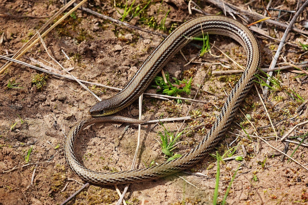 how to tell a legless lizard from a snake