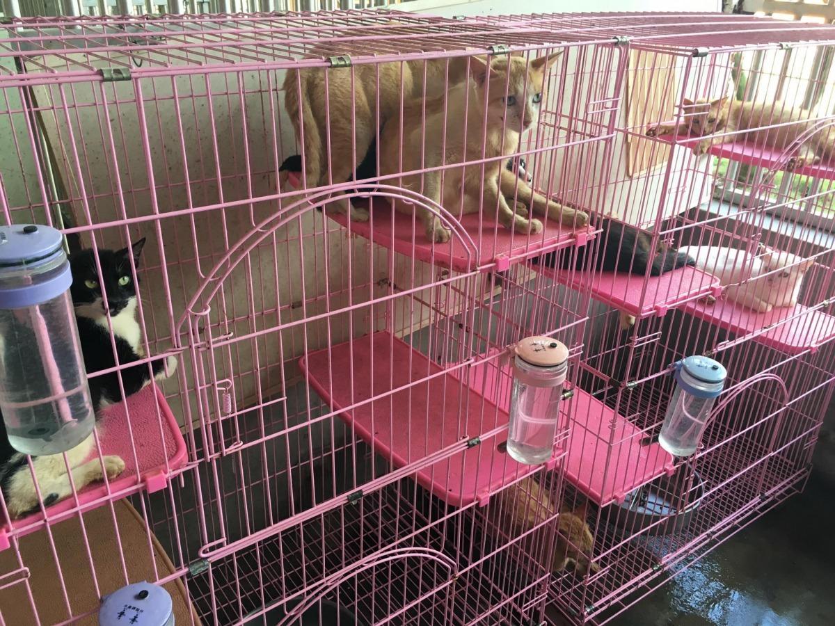 日前在澎湖七美進行貓咪TNVR的台灣之心愛護動物協會志工隊召集人廖子萱表示,貓咪結紮後,夜間發情打架的情況會減少很多,民眾的生活品質也能獲得保障。 取自澎湖縣家畜疾病防治所-烏崁流浪動物收容中心