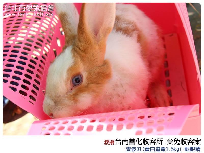 棄養兔兔需要民眾提供協助,不管事物資或是願意擔任保母、志工! 取自愛兔協會