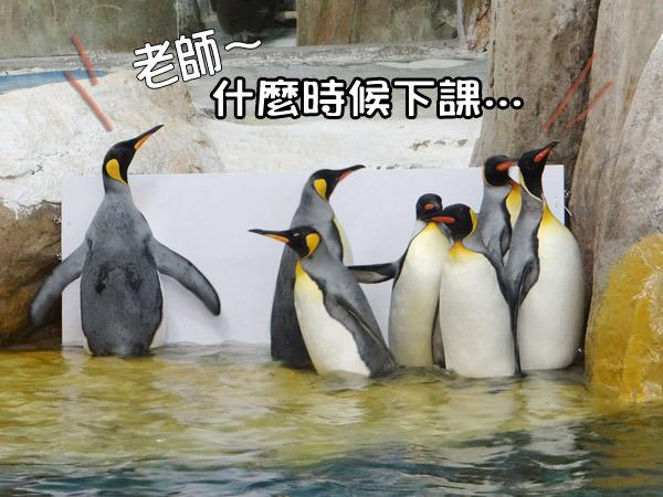 在动物园中的企鹅图片