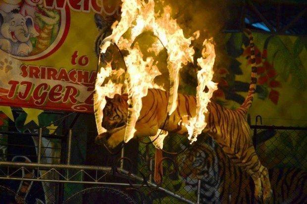 动物园sriracha tiger zoo」,园内也有饲养大量老虎作为马戏团表演,及