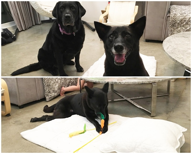 Judy第一天到新家就馬上適應家裡的環境,不但跟其他狗狗相處融洽、還偷偷把貓哥哥的逗貓棒咬出來玩。 Cher/提供