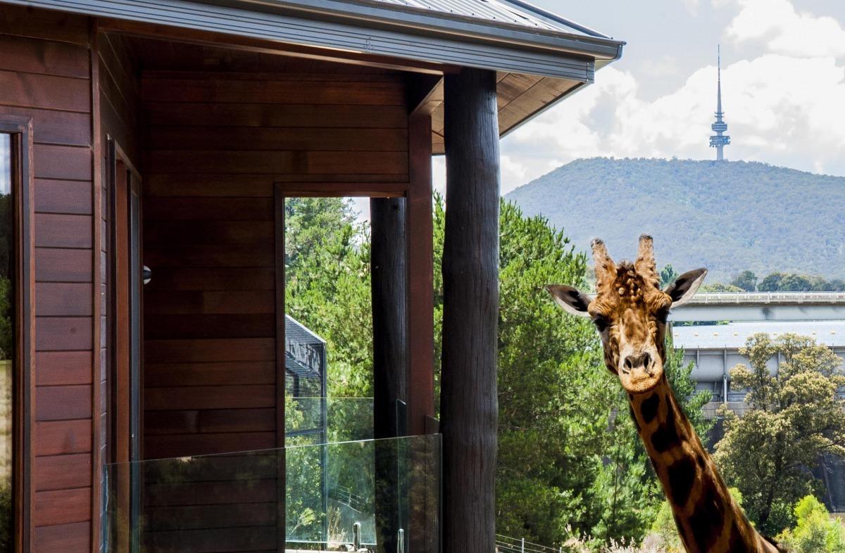猛兽陪睡共浴 澳洲动物园替你圆梦