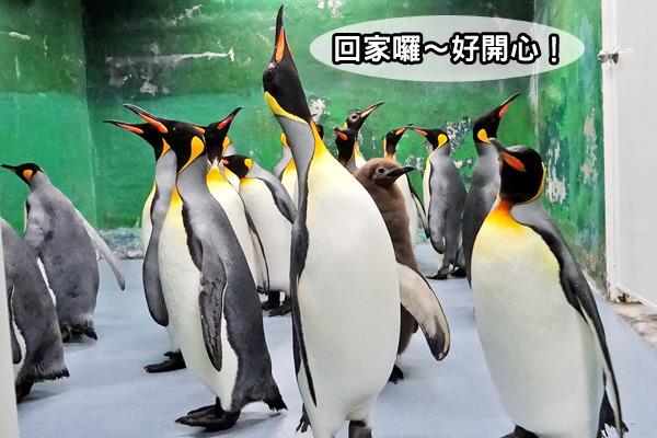 記者 何宜/報導 台北市立動物園企鵝館因工程汰舊換新,已經暫停開放好一段時間,有的遊客看不到可愛的企鵝,也覺得相當可惜,不過好消息是,工程目前已經驗收完成,企鵝館今(7日)天重新開放,企鵝們也分別打道回府,在新家中四處打量,似乎對於剛完工的新家感到相當滿意!  大家還記得去年企鵝們整隊出發前往暫時住所的可愛影片嗎?這次企鵝們可是強勢回歸,連黑腳企鵝裝在整理箱移動的畫面都讓人看了直呼好可愛!其實,是因為企鵝館「空調系統及滷水管線汰換工程」施作、驗收、測試終於完成,國王企鵝及黑腳企鵝都趕在重新開幕前,回到舊家