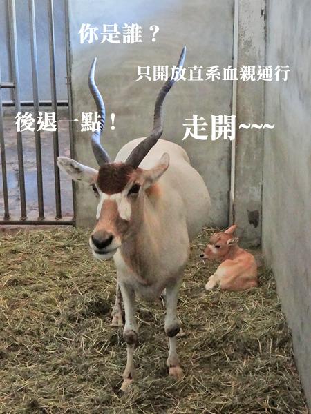 牛科动物的角一直在生长