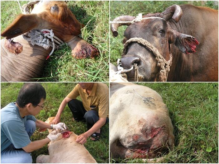 遭流浪狗群攻擊的牛隻。 澎湖縣防治所/提供