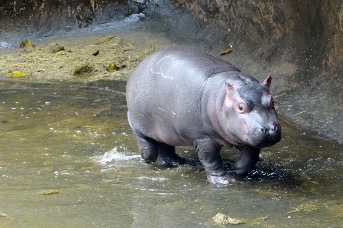 記者 何宜/報導 台北市立動物園去年11月16日在滂沱大雨中誕生的小河馬,沿用媽媽的名字,並在最後加上了屬於自己的字,命名為「娜竹忠雨」。當時母性堅強的河馬媽媽很保護寶寶,保育員無法接近、難以判斷性別,不過趁著清洗池子的機會,獸醫師終於幫小河馬驗明正身,確定是個小男孩!  周一是雨林區清洗河馬池的日子,媽媽「娜竹忠」上岸時小河馬沒有緊跟在側,正是幫河馬寶寶健康檢查的好機會。保育員眼見機不可失,立刻隔離媽媽並聯絡獸醫師,池水放掉後娜竹忠雨發現媽媽不見了,想要穿過保育員去找媽媽。雖然小河馬不到2個月大,但可是