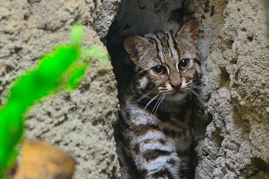 石虎是目前濒临绝种的野生动物