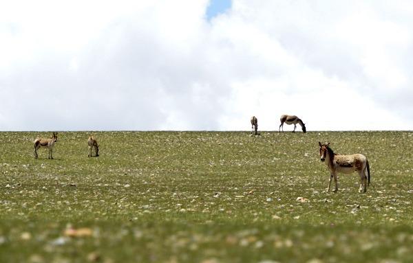 西藏廣闊草原上的藏野驢。 中新社