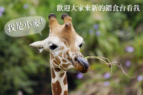記者 何宜/報導 除了穿山甲是眾所皆知的長舌一族外,你知道還有那個動物舌頭也很長嗎?答案就是非洲草原上的「長頸鹿」!長頸鹿除了腳長、脖子長、眼睫毛長,連舌頭都很長。現在如果民眾想要近距離觀察這個美麗的動物,不需要跑去住肯亞的長頸鹿飯店,只需要到台北動物園新設立的餵食台!  今年台北動物園建園一百年,除了加深國際間的交流外,也努力提升現有的園內照護,例如新增許多動物行為豐富化設施,讓民眾可以和野生動物有「親密接觸」,但又完全不會打擾到動物。就像非洲動物區剛完工開放的長頸鹿餵食棚,讓民眾有機會親眼目睹牠們如何