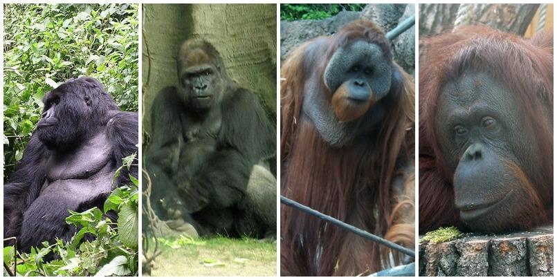 """左起為東部大猩猩、西部大猩猩、婆羅洲猩猩和蘇門答臘猩猩,西部大猩猩為動物園最常見的大猩猩,婆羅洲猩猩體型則比蘇門答臘猩猩略大、牠們也是亞洲唯二的猩猩。 (左一) <a href=""""https://commons.wikimedia.org/wiki/File:I%27m_sooooo_tired.jpg#/media/File:I%27m_sooooo_tired.jpg"""" target=""""_blank"""">Hendrik Dacquin</a> 、(右一)<a href=""""https://commons.wikimedia.org/wiki/File:Zoo_z02.jpg#/media/File:Zoo_z02.jpg"""" target=""""_blank""""> Zyance </a>"""