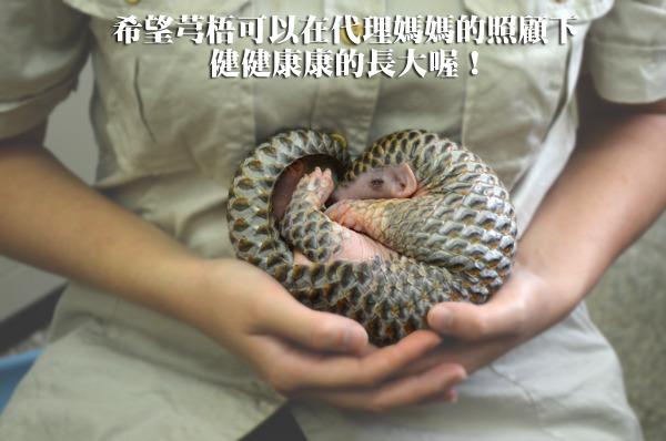 最近台北市立动物园的穿山甲宝宝芎梧面临大腹便便的