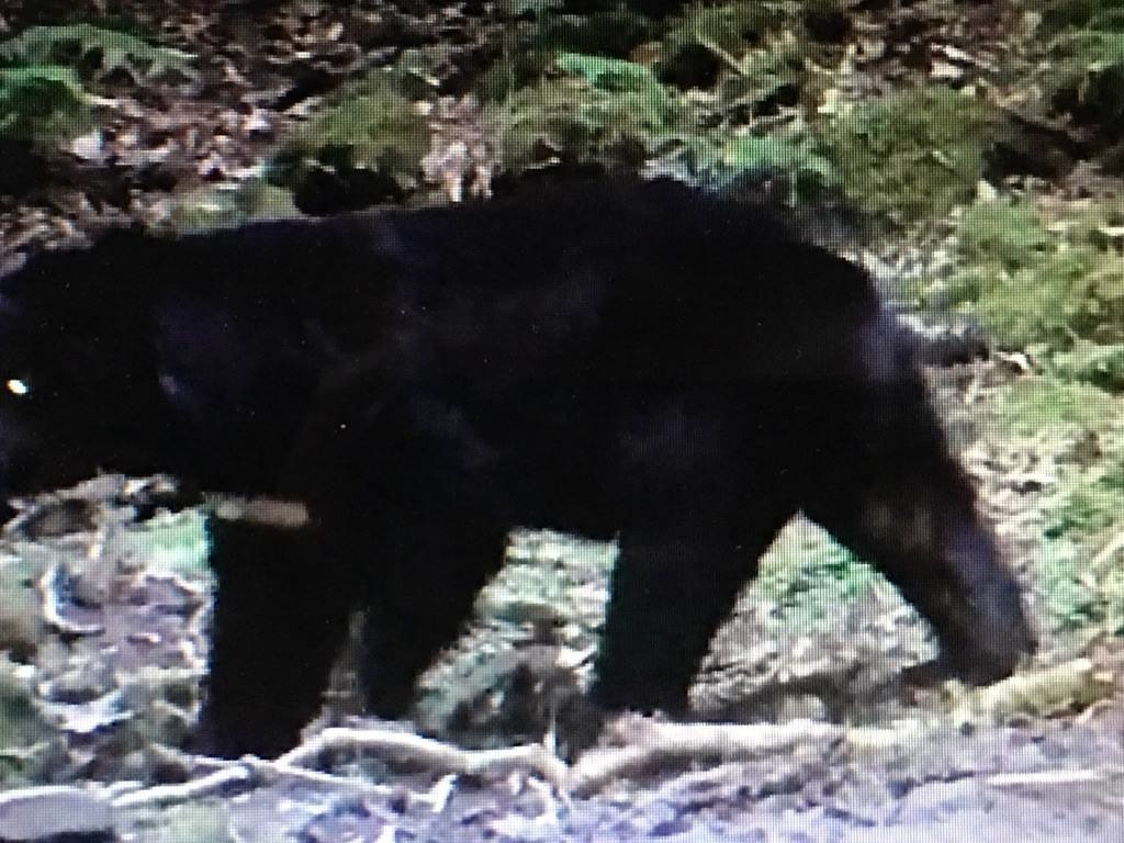 玉山國家公園的自動攝影機拍攝到斷了左前掌的台灣黑熊。 取自台灣黑熊保育協會