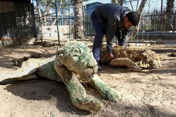 記者 江幸芸/綜合報導 蒼蠅在羸弱的獅子身旁圍繞,一旁的狒狒屍體頭部歪斜、成了木乃伊,位於加薩地區的汗尤尼斯(Khan Younis)動物園已成這般景況,這波戰亂讓他們失去65隻動物。人類戰爭、動物受害,無人照管的動物只好在園內等死。  根據英國《每日郵報》2月2日報導,加薩地區的汗尤尼斯動物園內,動物橫屍遍野,動物園主人穆罕默德阿韋達(Mohammed Awaida)表示,巴勒斯坦和以色列的衝突導致加薩地區戰亂不斷,他們的員工沒辦法順利到園內餵食、照顧動物,才落得這般下場。  阿韋達在2007年時,曾開