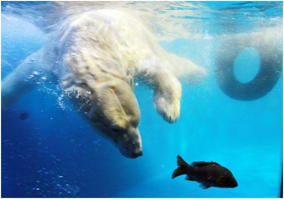 北极熊是陆地上最大的肉食动物