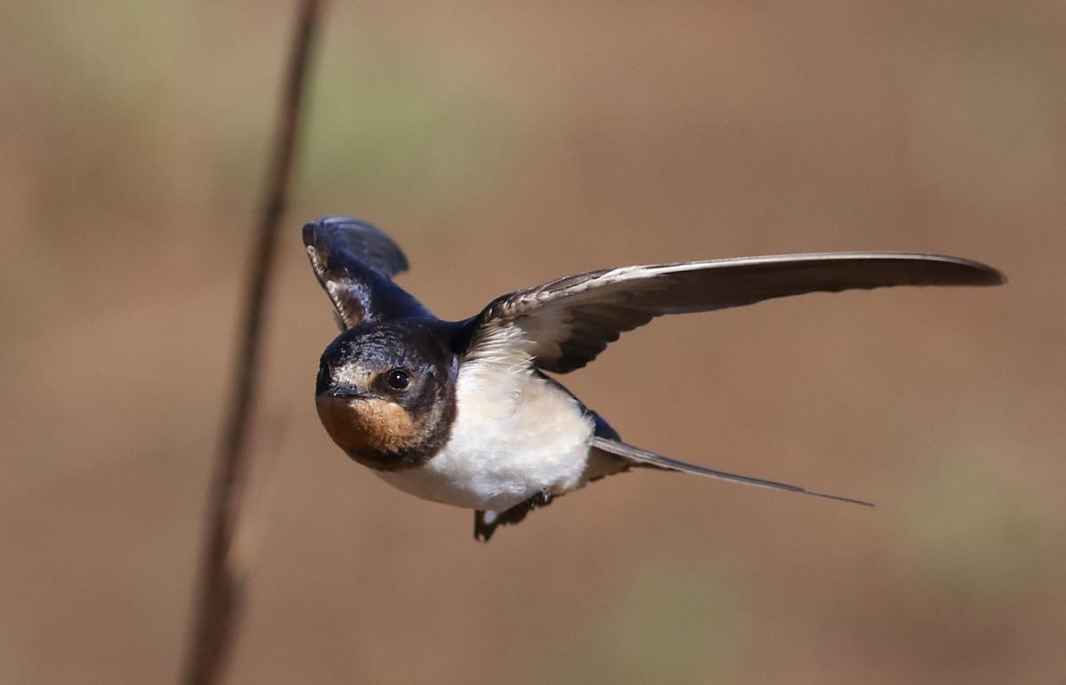 燕子在飛行時捕食蚊蠅。 取自網路