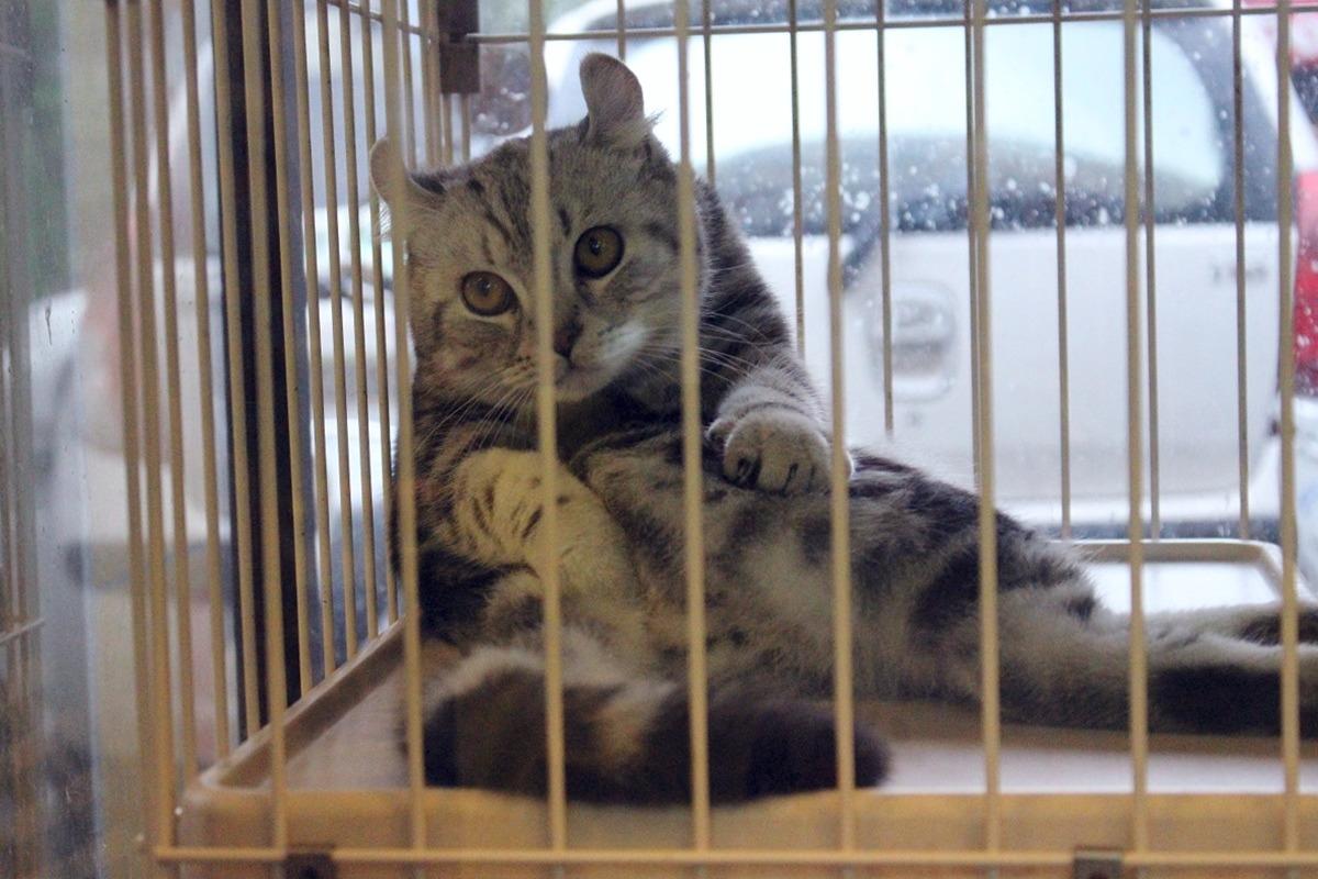 法令上路后,宠物店橱窗内的猫咪将拥有较佳的生活空间. 李娉婷/摄