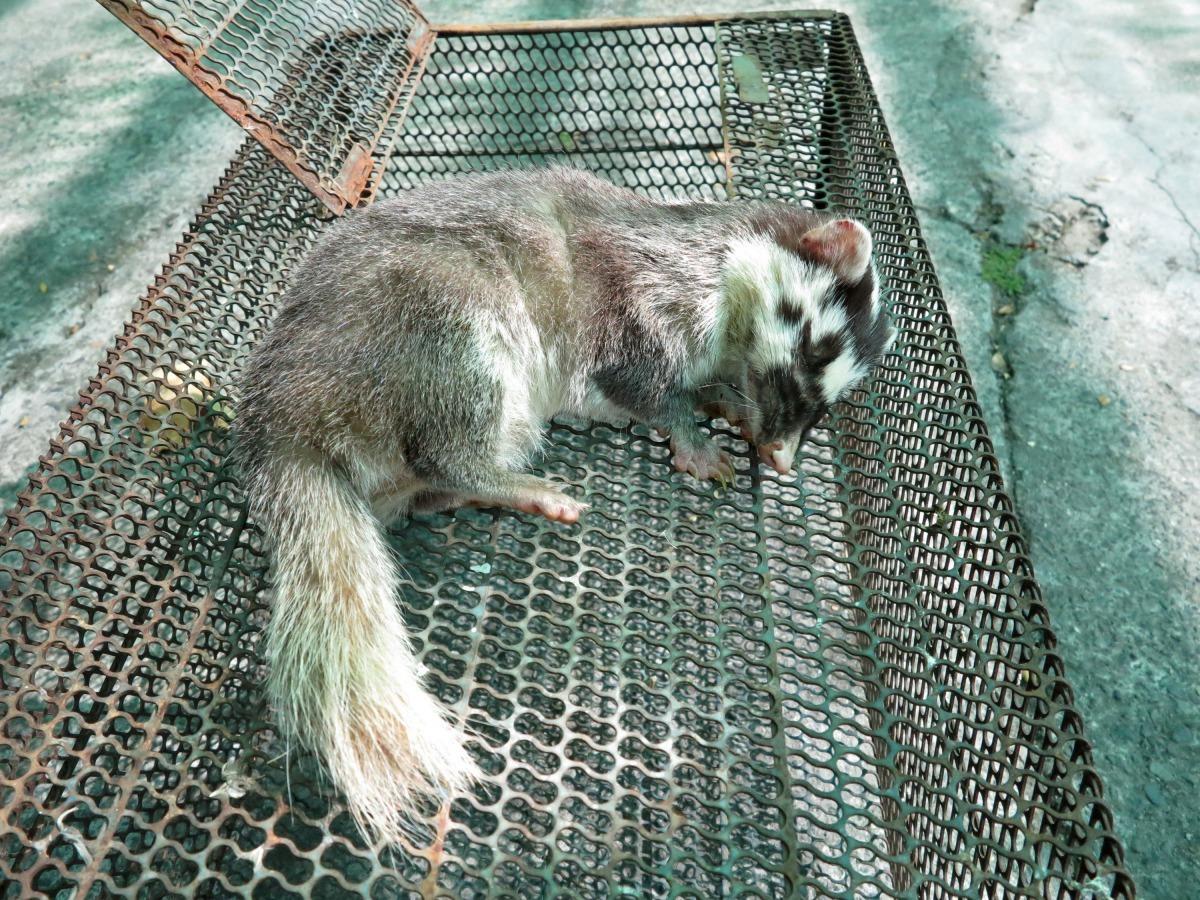 鼬獾是夜行性動物,白天出現幾乎都已感染疾病。高維奇/攝