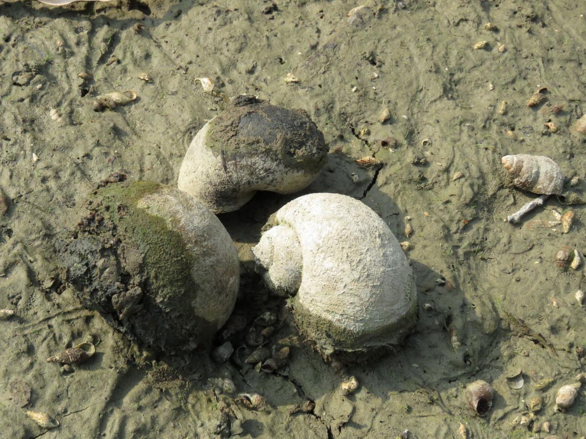 在小水坑發現的大田螺,也有人認為那是福壽螺。高維奇/攝