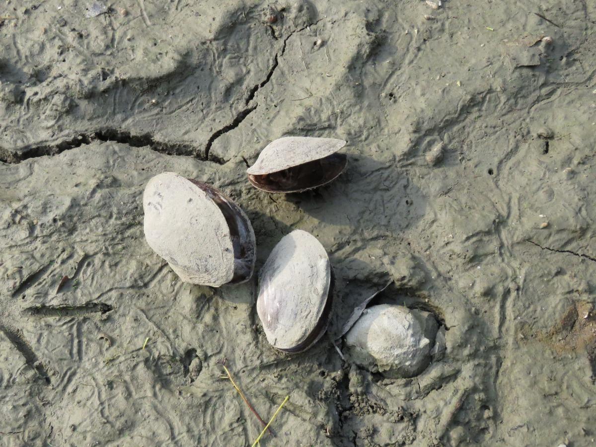 早年在河川、湖泊隨處可見的河蚌,現在已極少見。高維奇/攝