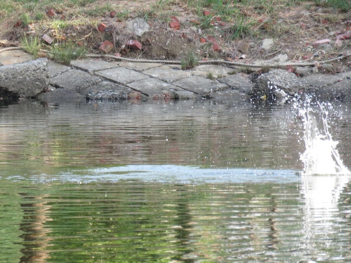 運河不時有魚躍出水面。高維奇/攝