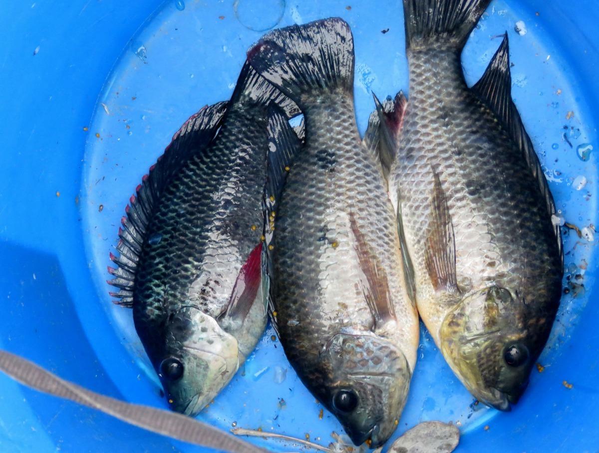 在台南運河釣到的吳郭魚。高維奇/攝