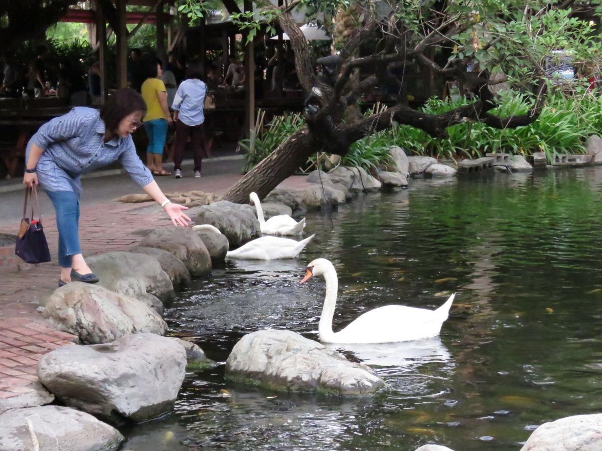 湖面悠遊的白天鵝很親人。高維奇/攝
