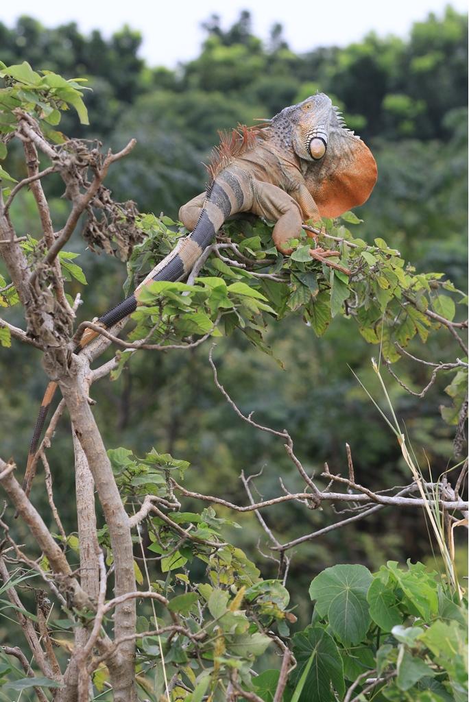 目前台南市綠鬣蜥族群主要分布於仁德區三爺宮溪流域。圖/台南市政府農業局提供