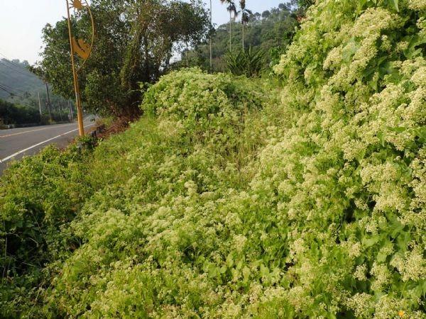 小花蔓澤蘭攀爬於樹上,導致樹木無法接受日照而逐漸凋萎。圖/台南市政府農業局提供