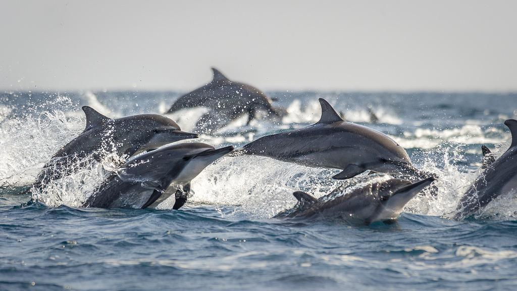 飛旋海豚(Stenella longirostris),攝於斯里蘭卡Kalpitiya。攝影:Richard Barret;圖片來源:WWF