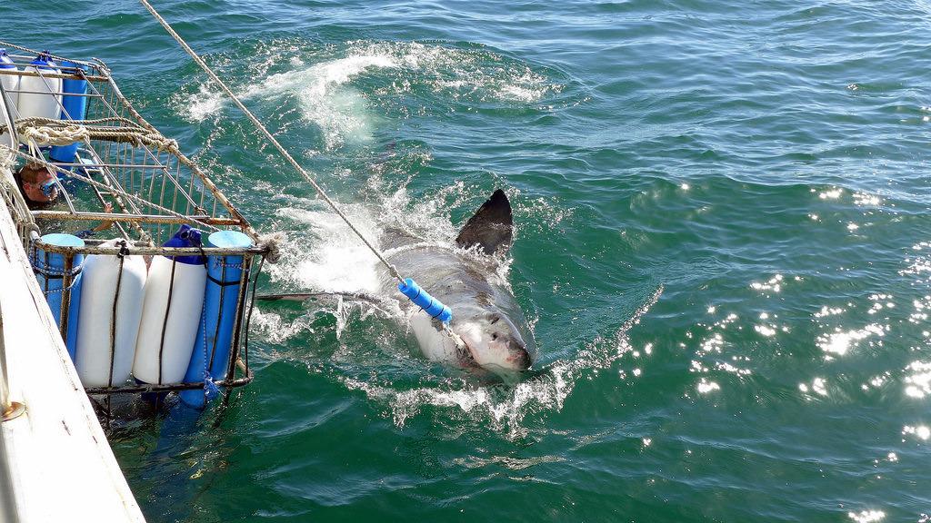 「鯊籠潛水」是目前旅遊業中成長最快的產品之一。圖片來源:Armin Rodler(CC BY-NC 2.0)