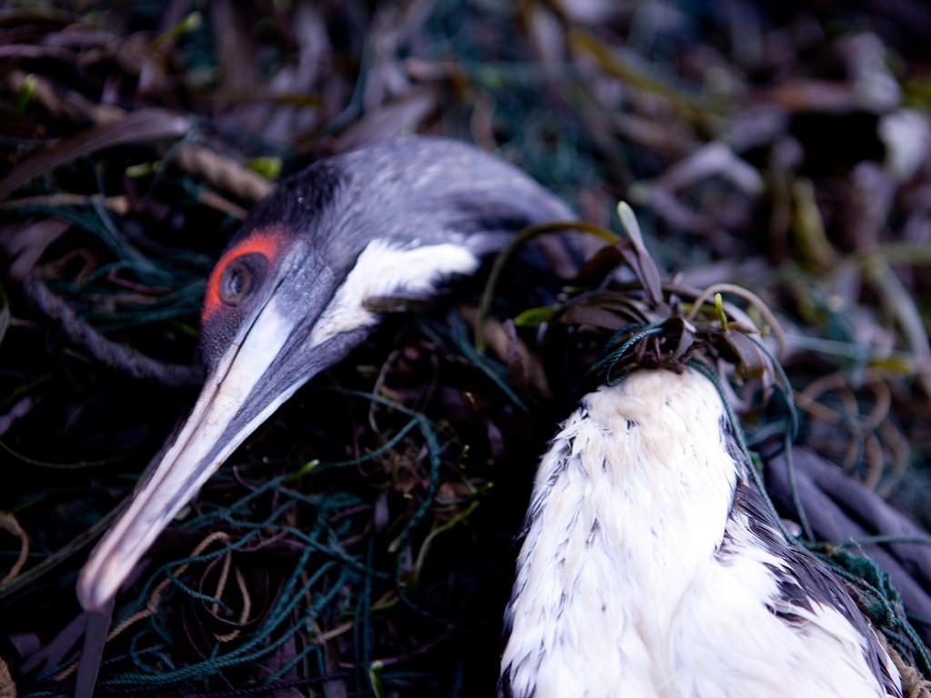 遭漁網纏住的南美鸕鶿。圖片來源:Andrew F Johnson / 埃克塞特大學(University of Exeter)