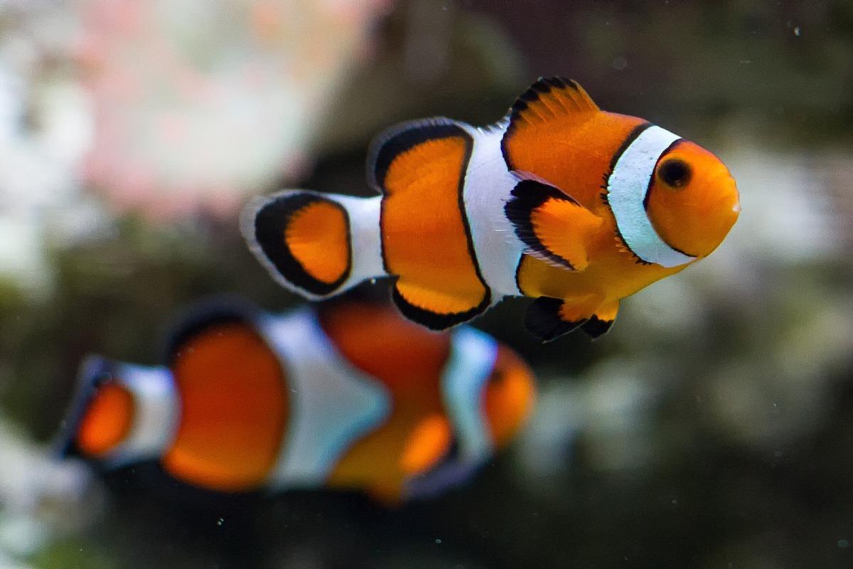 看到這張照片會讓你想到《海底總動員》那隻到處尋找尼莫的小丑魚爸爸嗎?《海底總動員》捧紅了小丑魚,卻也帶來另一種生態危機。 Photo: Chris Favero