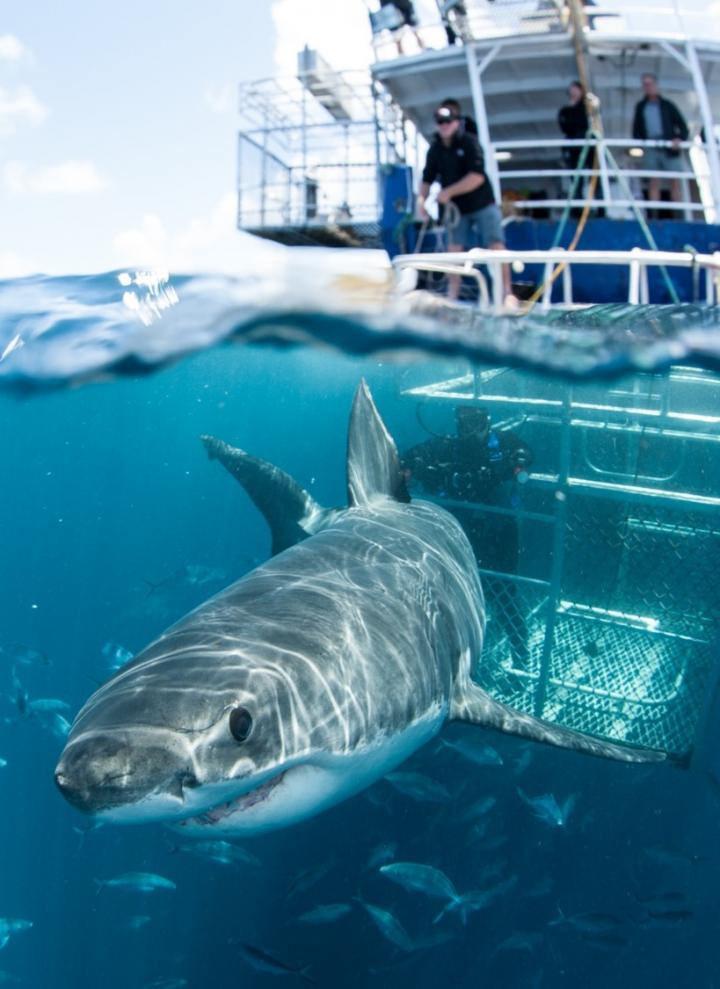 研究作者呼籲更深入瞭解鯊魚與旅遊業者互動的頻率,以瞭解生態旅遊對該物種健康的影響。圖片來源:Andrew Fox(Fox Shark Research Foundation)