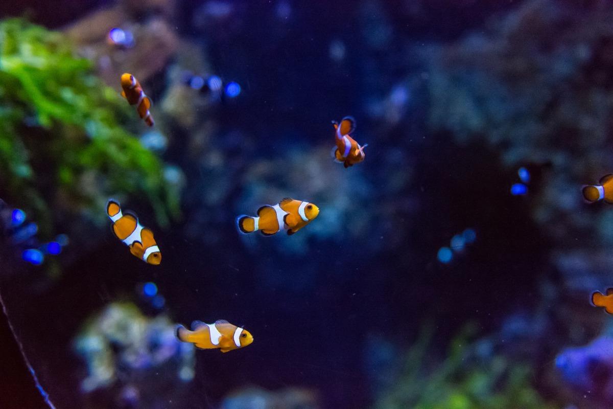 為了要解決小丑魚危機,又要滿足大家想養小丑魚的願望,「拯救尼莫」計畫找來了小學生幫大家養小丑魚寶寶,就能避免人類不斷地捕撈海底的野生種。 Photo: Paul Gravestock