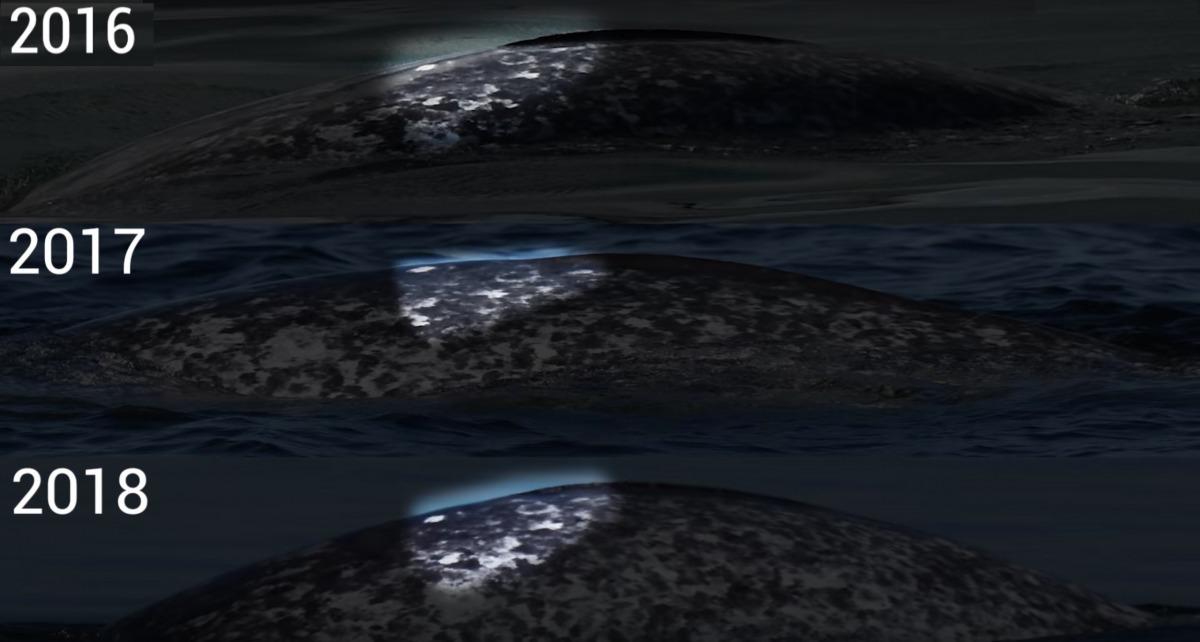 其實在 2016年、2017年,GREMM都有注意到這隻和白鯨一起生活的獨角鯨,這次他們透過比對獨角鯨上的斑紋,確定他們觀察到獨角鯨一直都是同一隻。 Photo: Baleines En Direct