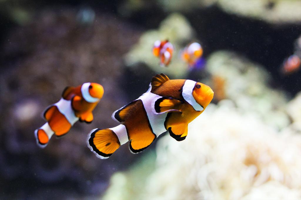 參與「拯救尼莫」計畫的小學生們,不僅要負責清理魚缸,連小丑魚的食物──浮游生物──都要自己養。 Photo: Ashley Murphy